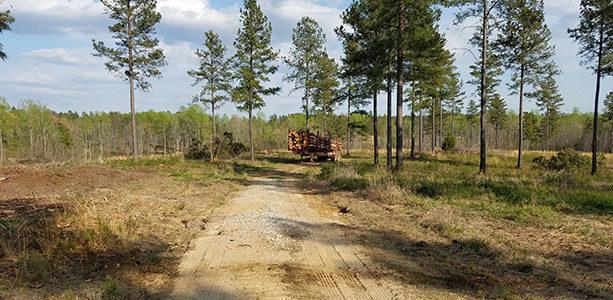 Great Pine Stand Thinning Creating Quail Habitat